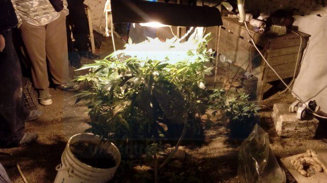 En un vivero encontraron 200 plantilles de marihuana