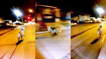 que es el animal que corria por calle almafuerte
