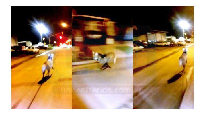 Volvieron a ver este lunes el aguará guazú filmado en avenida Almafuerte