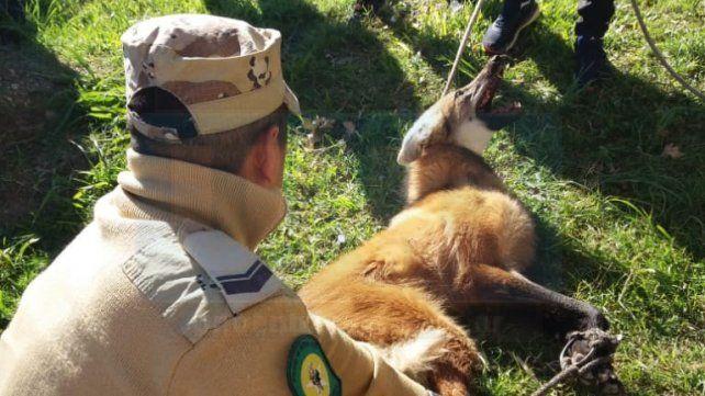 El aguará guazú fue capturado