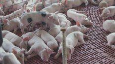 los precios del sector porcino se acomodan tras la devaluacion