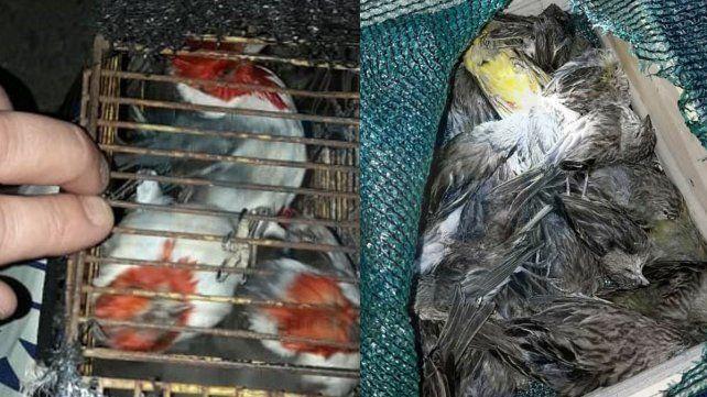 Llevaba jaulas con pájaros silvestres, la mayoría habían muerto por asfixia