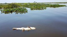 rio parana: encontraron microplasticos en sabalos, rayas y armados