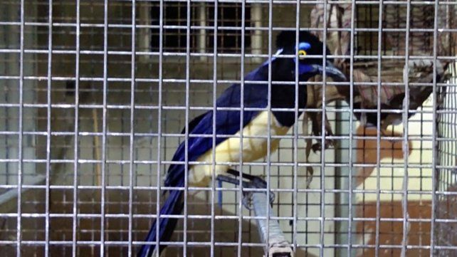 Secuestran gran cantidad de aves autóctonas en cautiverio