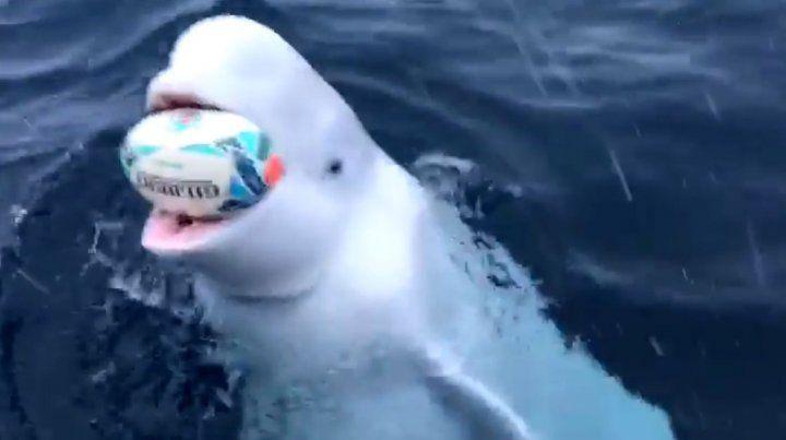 El cetáceo con la guinda en la boca.
