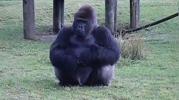 gorila uso lenguaje de senas para comunicarse con turistas