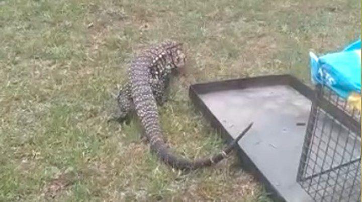 Al campo. La iguana este jueves quedó en libertad en el Parque San Martín.