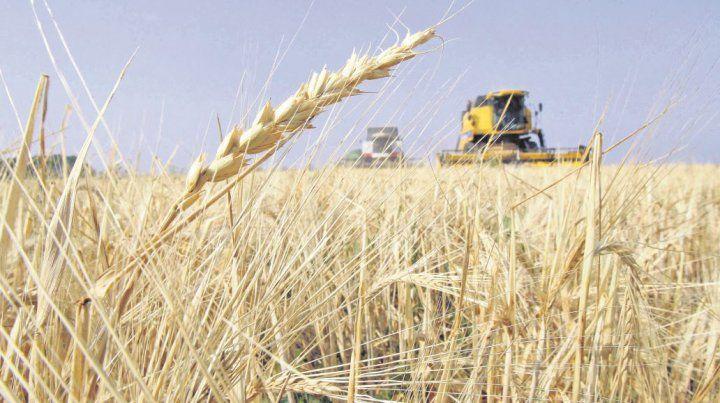 Récord de siembra de trigo en la provincia