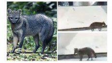 piden no asustar al zorro visto en el centro de  parana