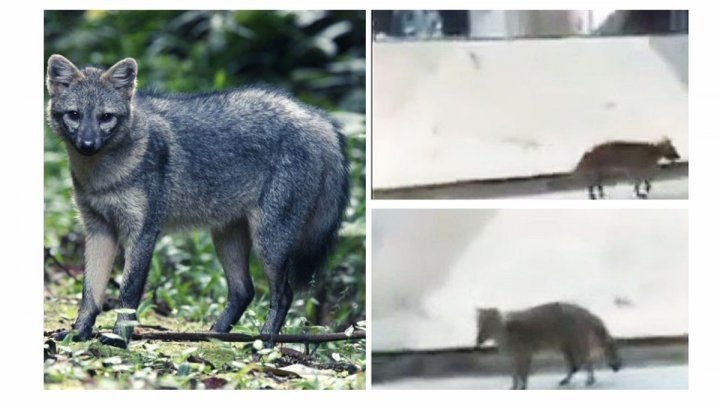 Piden no lastimar ni asustar al zorro que fue visto en el centro de  Paraná