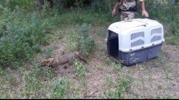 liberaron al zorro encontrado en el centro