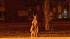 video: hasta los canguros huyen del fuego en australia