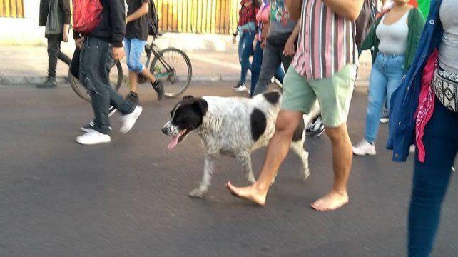 Organizaron una falsa marcha para llevar a un perro al veterinario
