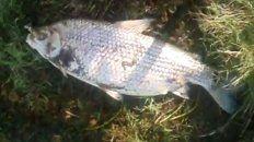 Uno de los peces muerto e hinchado.