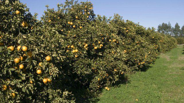 Arranca lenta, por la baja demanda local, la cosecha del citrus en campos entrerrianos